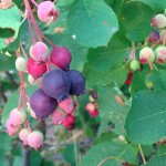 Some of the Saskatoon Berries are finally ready to pick