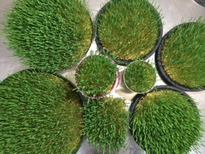 Wheatgrass for Spring
