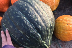 A little info on winter squash