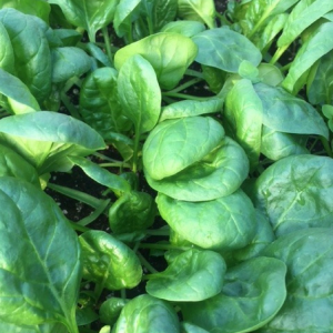 Spinach – nutrition