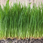 Wheatgrass 2x3 container $3